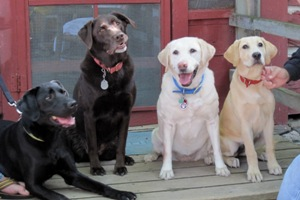Labs of many colors